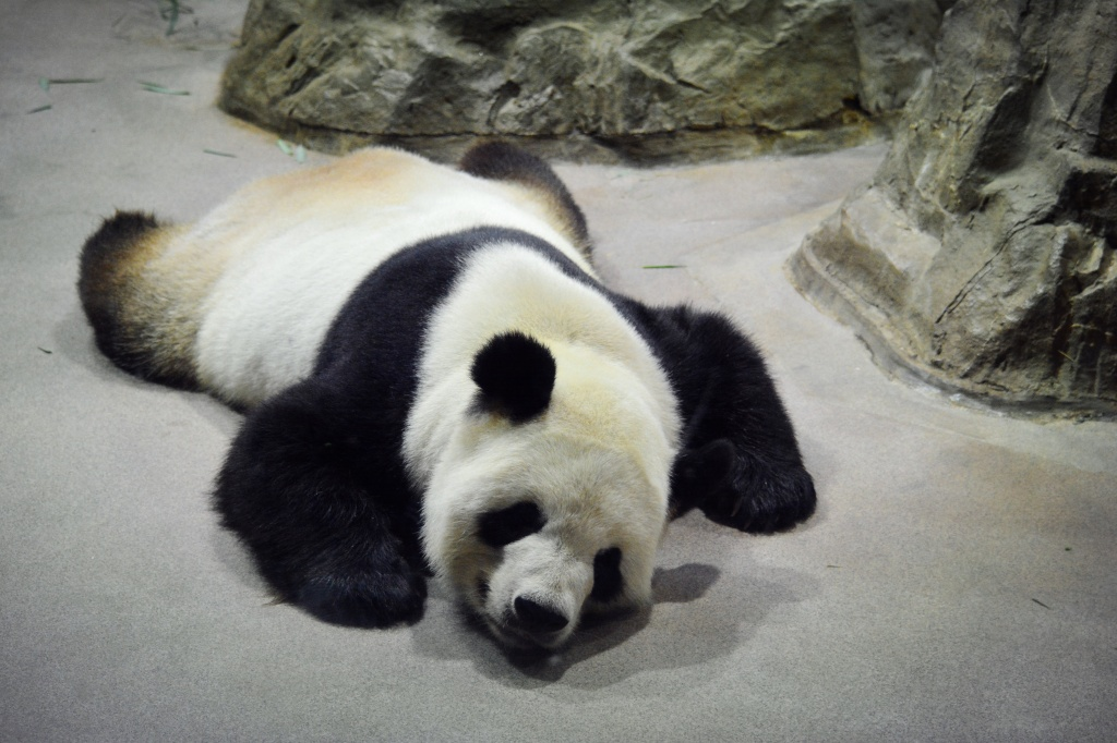 Tian Tian chillin in his air-conditioned room